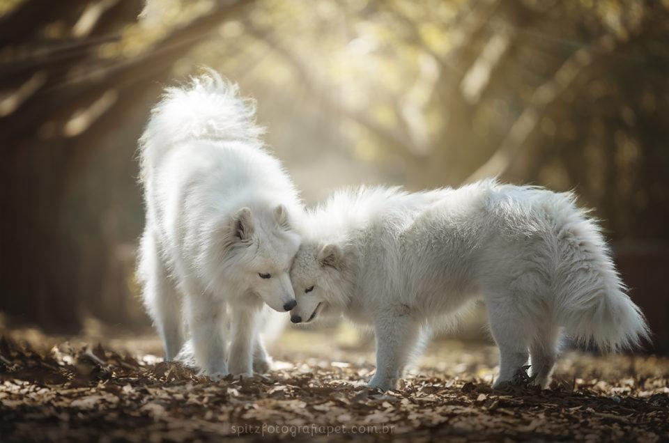 Ensaio pet em SP (Villa Lobos): Ghost e Alegria (samoiedas)