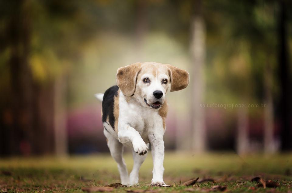 Ensaio Pet em SP: Tina Beagle