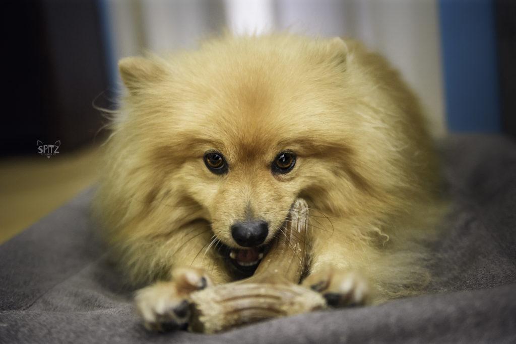 Cachorro roendo Benebone
